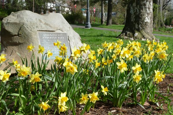 Early spring picture of daffodils blooming in Anderson Park